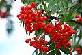 Berries for birds.jpg