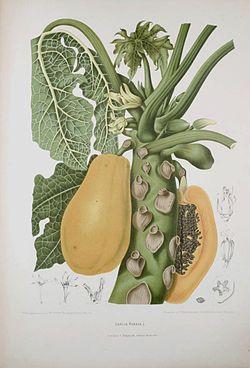 descripcion de la papaya pdf