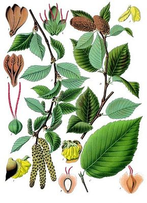 Zucker-Birke (Betula lenta), Illustration