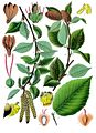 Betula lenta - Köhler–s Medizinal-Pflanzen-021.jpg