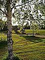 Betula pendula-03.jpg