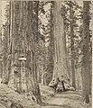 Big Trees of California Southern Pacific (1913) (14598084407).jpg