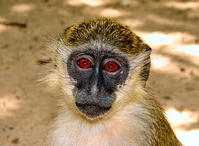 Bijilo-Portrait-of-a-Callithrix-Monkey.jpg