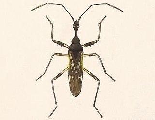 <i>Myodocha</i> Genus of true bugs
