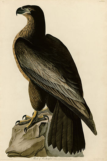 Bird of Washington (Audubon).jpg