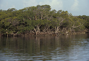 Biscayne National Park H-mangrove shoreline.jpg
