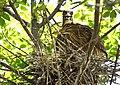 Black-crowned Night-Heron young (48432087761).jpg