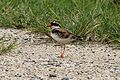 Black-fronted Dotterel - Flickr - GregTheBusker.jpg