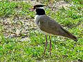 Black-headed Lapwing (Vanellus tectus) (6937099166).jpg