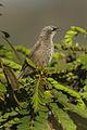Black-lored Babbler - Naivasha - Kenya 06 0765 (18925465154).jpg
