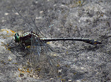 Black-shouldered Spinyleg.jpg