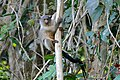 Black-tailed Marmoset (Callithrix melanura) (27256974613).jpg
