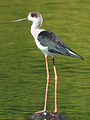 Black-winged Stilt (Himantopus himantopus) Photograph By Shantanu Kuveskar.jpg
