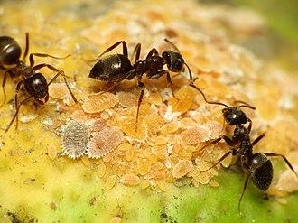 Black garden ant - Black garden ants tending to mealybugs