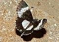 Black Panther Moth (Lophonotidia nocturna) (11648388774).jpg