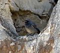 Black Redstart - Flickr - gailhampshire.jpg