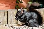 Black Squirrel (34710239194).jpg