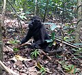 Black crested macaques.jpg