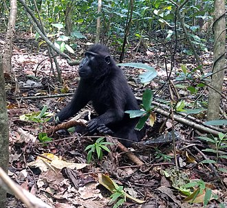 North Sulawesi - Black crested macaques living in the Tangkoko nature reserve near Bitung