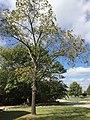 Black walnut tree.jpg