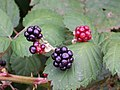 Blackberries gone wild - panoramio.jpg