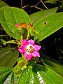 Blakea glandulosa, Napo-Galeras National Park, Ecuador.jpg