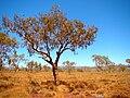 Bloodwood Tree.jpg