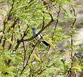 Blu-gray Gnatcatcher. Polioptila caerulea - Flickr - gailhampshire.jpg