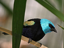 Blue-necked Tanager SMTC.jpg