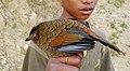 Blue-winged Laughingthrush Trochalopteron squamatum by Dr. Raju Kasambe.jpg