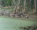 Blue-winged Teal hen with 8 chicks, 17 Mile Rd. marshes, Cedar Springs, MI, July 12, 2012 (7556254310).jpg