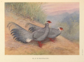 Blue Eared-Pheasant by George Edward Lodge.png
