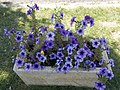 Blue flowers, Hősök Square, 2017 Mátészalka.jpg