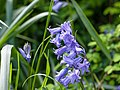 Bluebells (detail) (9026996239).jpg