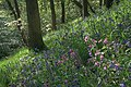 Bluebells and Red Campion, Newton Woods - geograph.org.uk - 808772.jpg