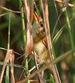 Blunt-winged Warbler (Acrocephalus concinens) in AP W IMG 4071.jpg