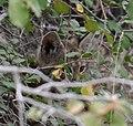 Bobcat (Lynx rufus) kitten - Grand Canyon National Park - 2.jpg