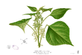 Boehmeria nivea Blanco2.385.png