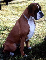 German Boxer Dogs For Sale