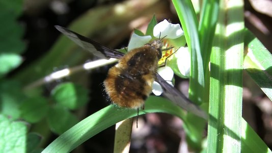 File:Bombylius major - 2016-05-04.webm