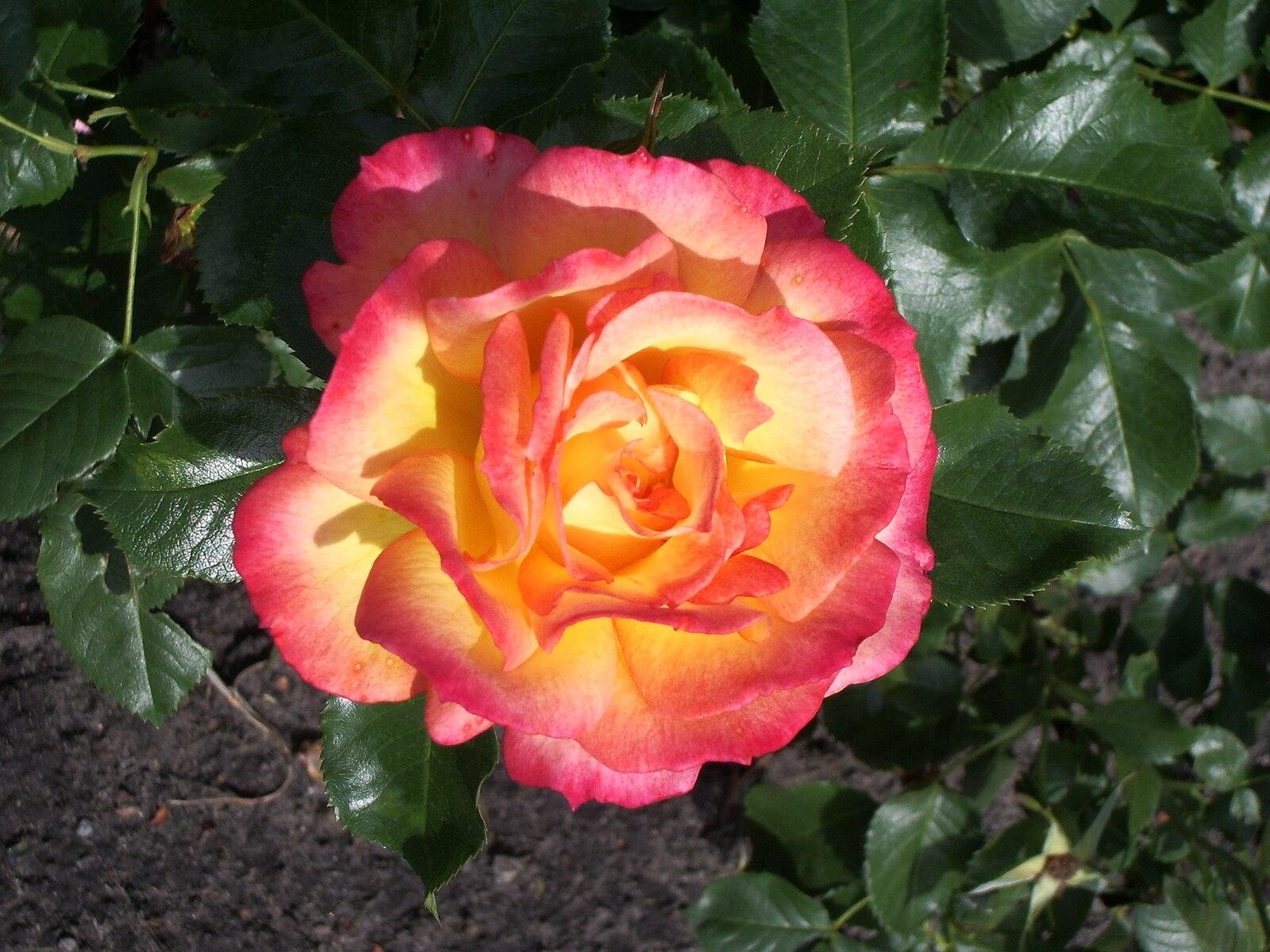 который практически роза бонанза фото отзывы магазинах красноярска
