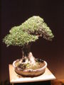 Bonsai IMG 6399.jpg