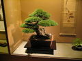 Bonsai IMG 6412.jpg