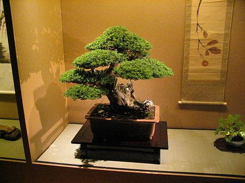 Bonsai Wikiwand
