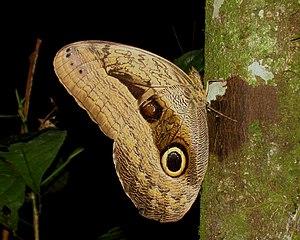 Owl butterfly - Caligo oedipus