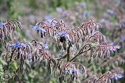 Borage and a bee - geograph.org.uk - 1386663.jpg