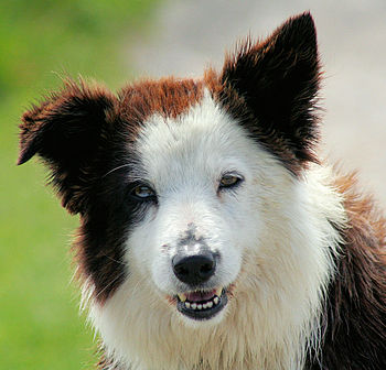 English: A liver-coloured Border Collie with h...