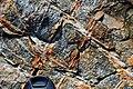 Boxwork veining in metatuffs (Cranberry Island Series, Upper Silurian, 424 Ma; Seawall Beach, Mt. Desert Island, Maine, USA) 2.jpg
