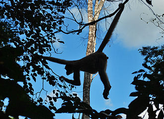 Northern muriqui - Silhouette of adult using its prehensile tail