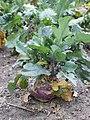 Brassica oleracea var. gongylodes kz01.jpg